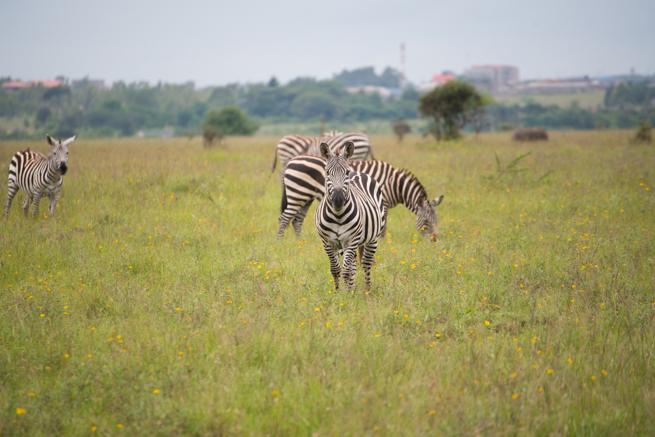 ナイロビ国立公園のシマウマと目が合う