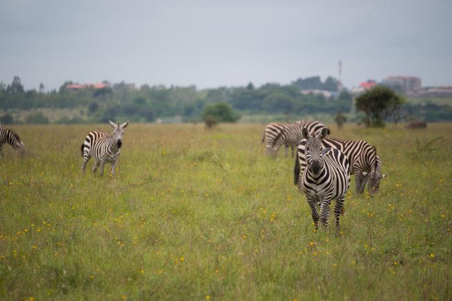 ナイロビ国立公園のシマウマ