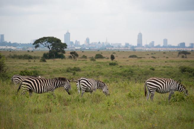 ナイロビ国立公園の高層ビルをバックにシマウマ