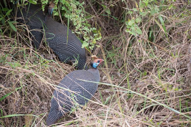 ナイロビ国立公園のホロホロチョウ