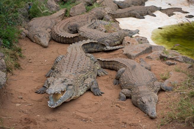 ナイロビワニ園のクロコダイル