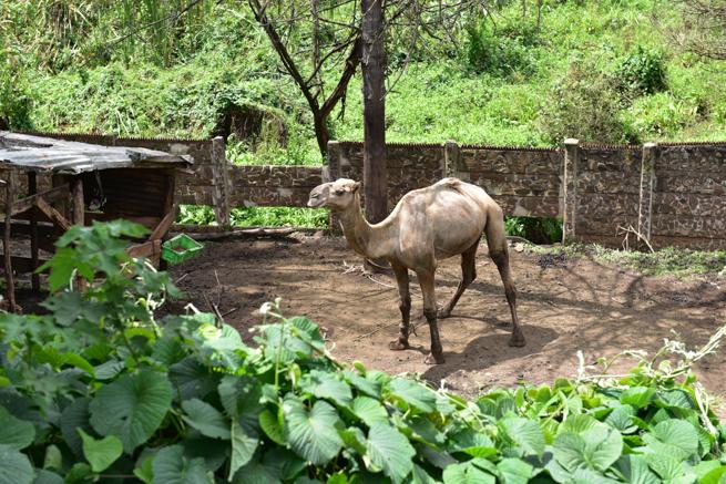 ナイロビのワニ園のラクダ