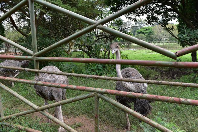 ナイロビのワニ園のダチョウ