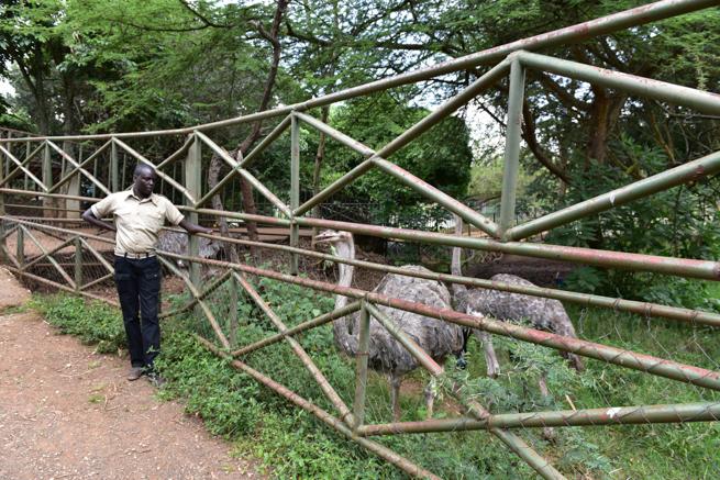 ナイロビのダチョウ