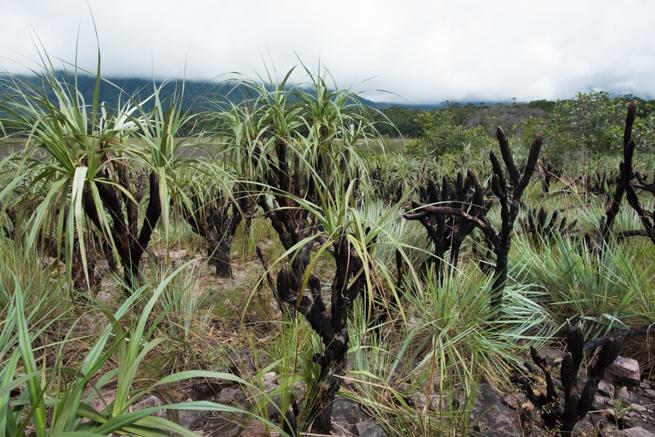 アウヤンテプイの黒い草