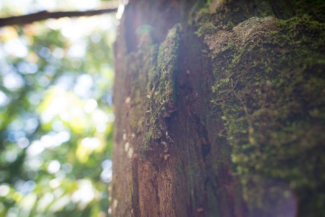アウヤンテプイトレッキングの木