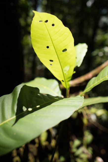 アウヤンテプイトレッキングの穴が開いた葉