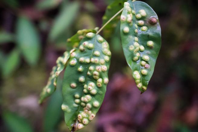 アウヤンテプイトレッキングの虫に寄生された葉