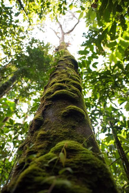 アウヤンテプイトレッキングの巨木