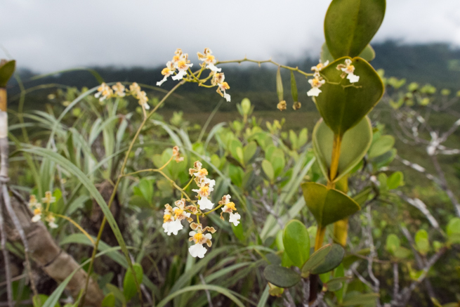 アウヤンテプイトレッキング2日目に見つけた花