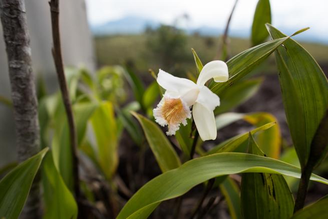 アウヤンテプイトレッキング2日目の花