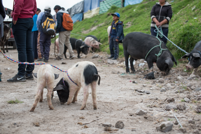 エクアドルのオタバロの家畜市場の子豚