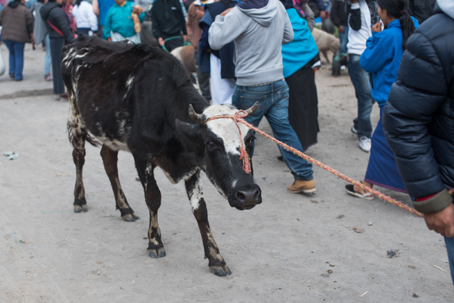 エクアドルのオタバロの家畜市場で売られる牛
