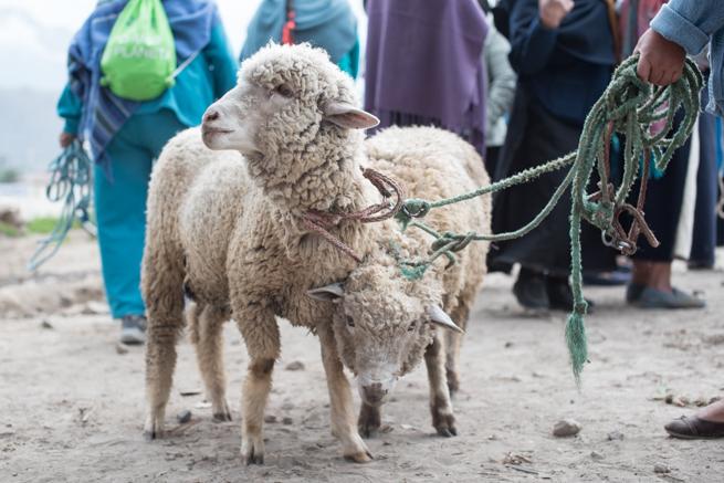 エクアドルのオタバロの家畜市場で羊