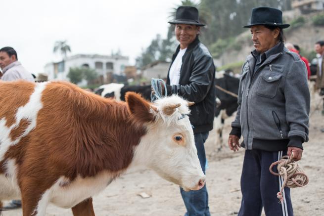 エクアドルのオタバロの動物市の牛