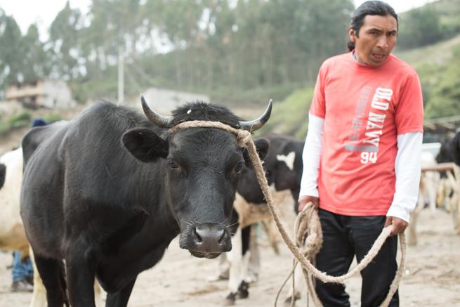 エクアドルのオタバロの動物市の黒い牛