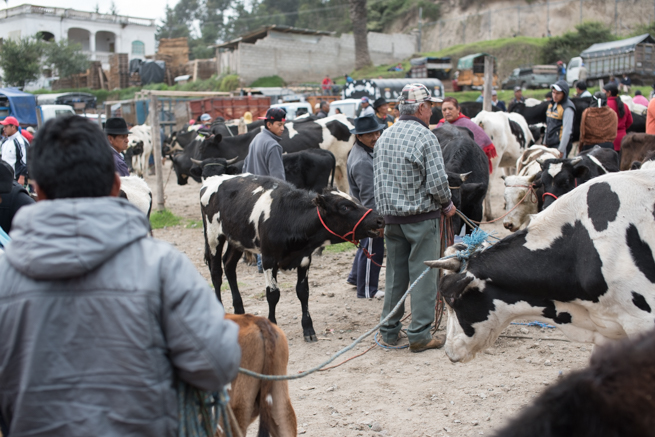 エクアドルのオタバロの動物市の牛コーナー