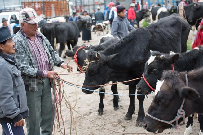 エクアドルのオタバロの動物市のでかい牛