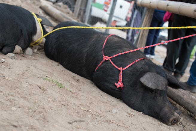 エクアドルのオタバロの動物市の豚