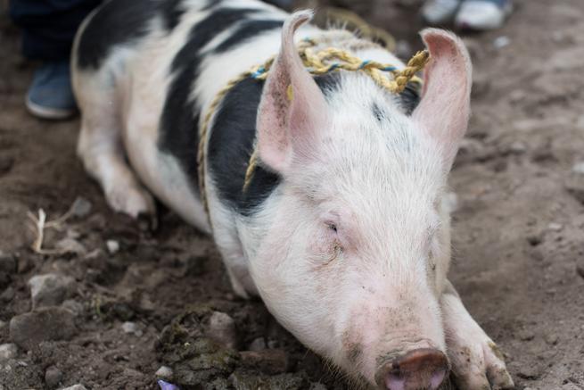 エクアドルのオタバロの動物市で売られていた豚