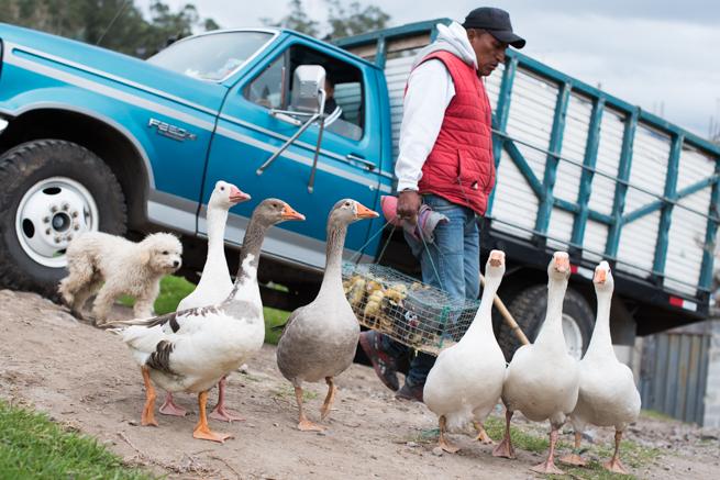 エクアドルのオタバロの動物市のアヒル