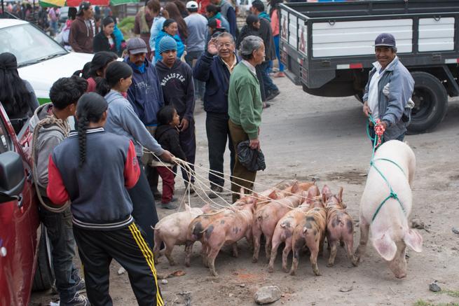 エクアドルのオタバロの動物市の子豚