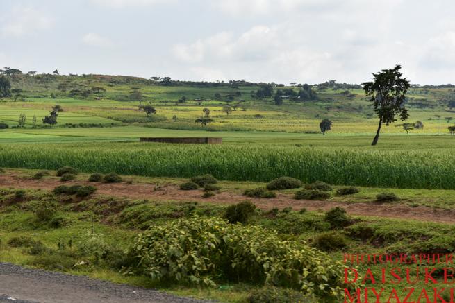 ケニアの穀倉地帯、麦畑