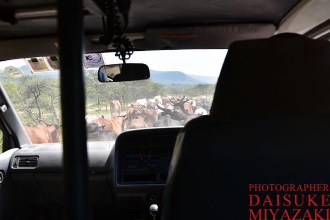 放牧中の牛が道をふさぐ