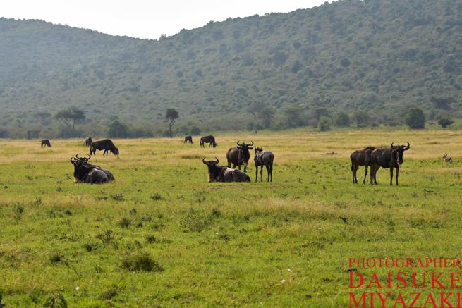 マサイマラ国立公園の野生動物の群れ