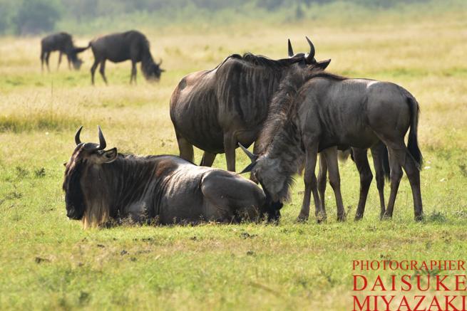 マサイマラ国立公園でくつろぐヌーたち
