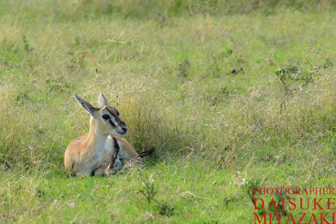 マサイマラ国立公園の草食動物