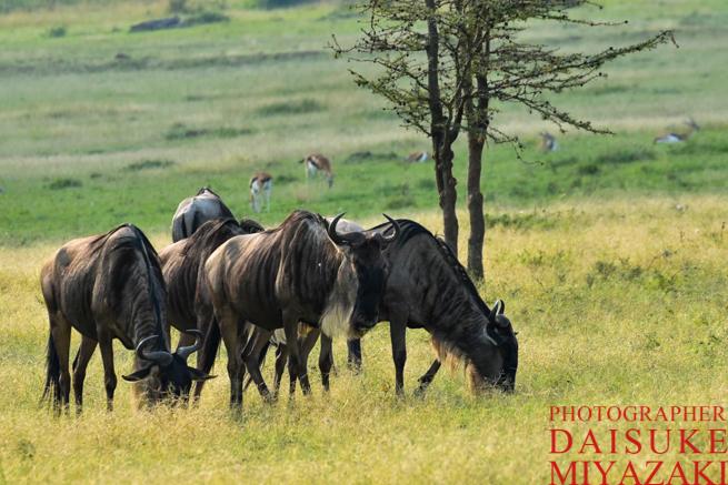 マサイマラ国立公園で草を食べるヌー