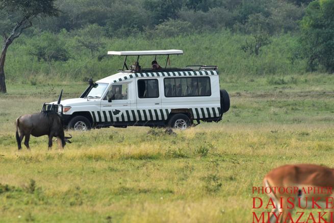 マサイマラ国立公園のゲームドライブの様子