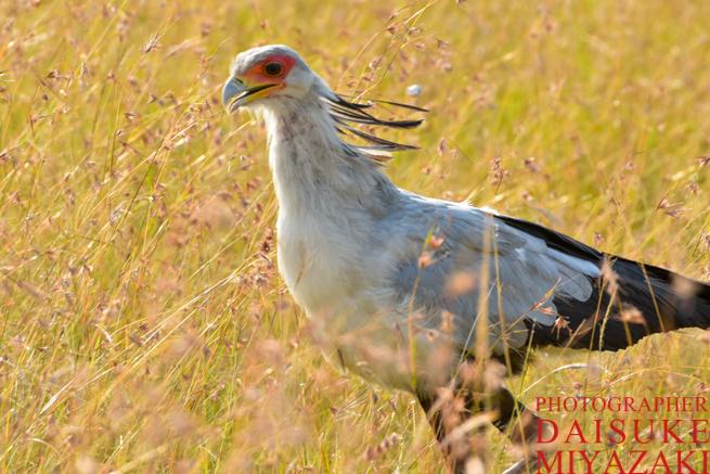 マサイマラ国立公園で走る鳥
