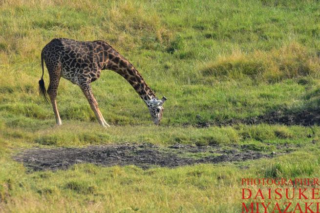 マサイマラ国立公園のマサイキリン