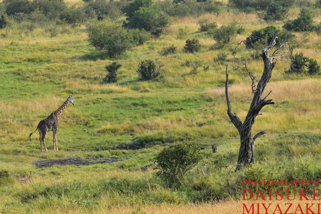 マサイマラ国立公園で生息しているキリン