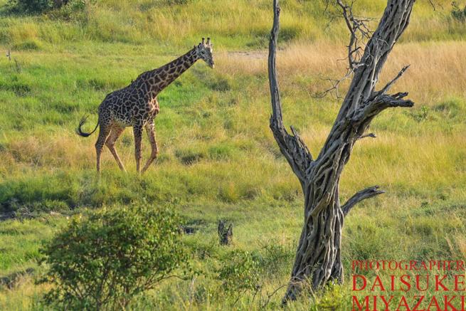 マサイマラ国立公園の木とキリン