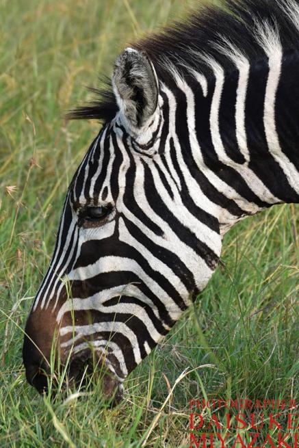 マサイマラ国立公園のシマウマのアップ