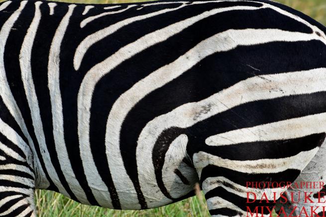 マサイマラ国立公園のシマウマのお腹