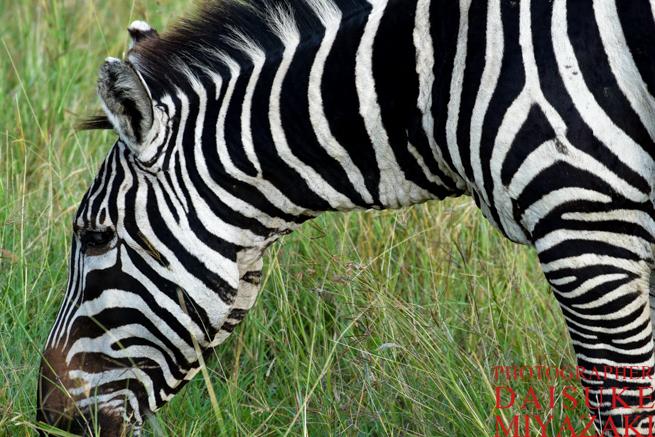 マサイマラ国立公園のシマウマのクビ