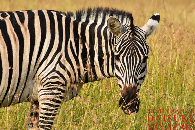 マサイマラ国立公園のこっちを見るシマウマ