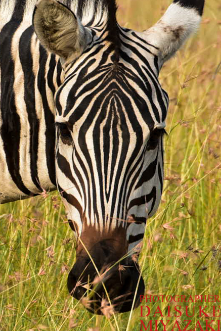 マサイマラ国立公園で目が合うシマウマ