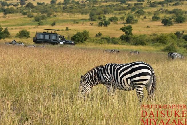 マサイマラ国立公園のサファリカーとシマウマ