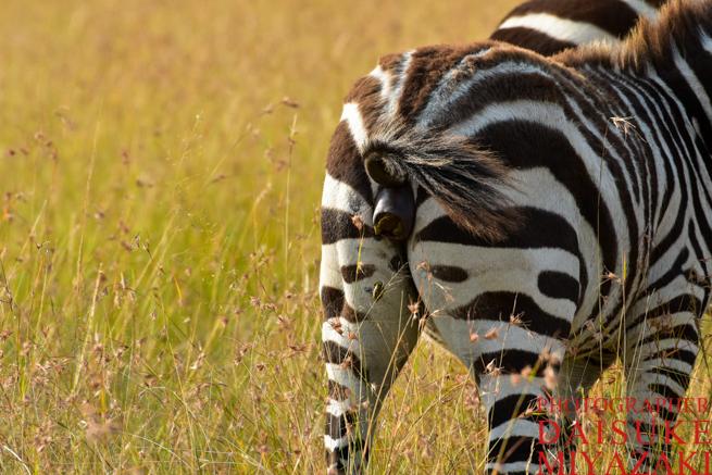 マサイマラ国立公園でうんちをするシマウマくん