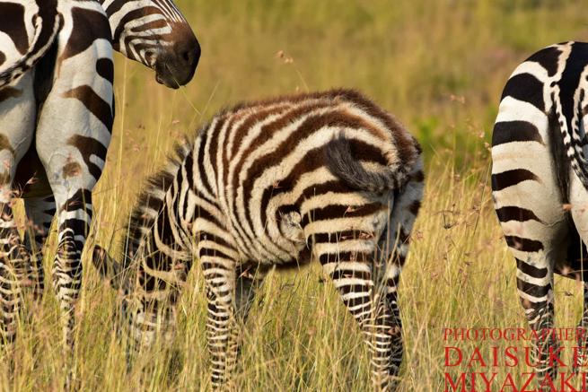 マサイマラ国立公園のシマウマの赤ちゃん