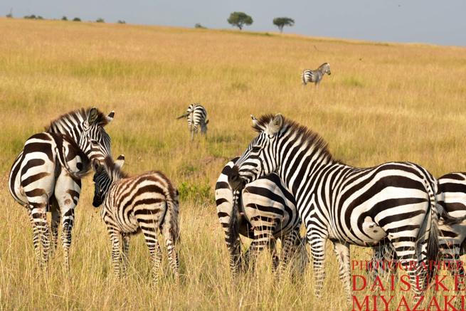 マサイマラ国立公園のシマウマの群れ