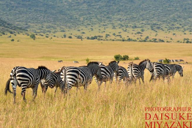 マサイマラ国立公園のシマウマの集団
