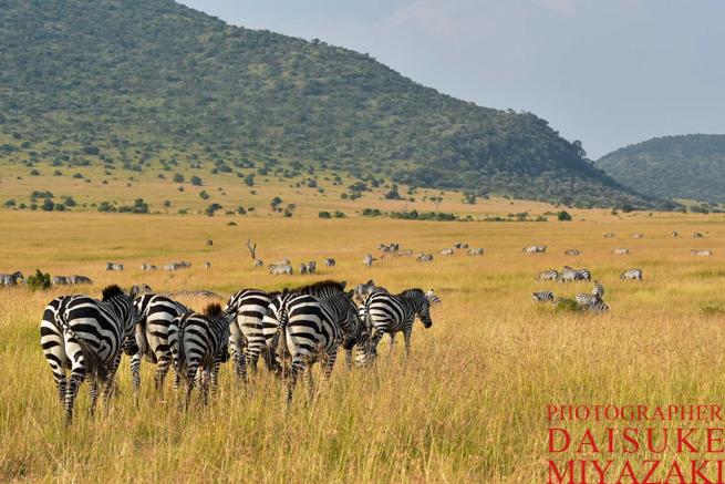 マサイマラ国立公園のシマウマたち