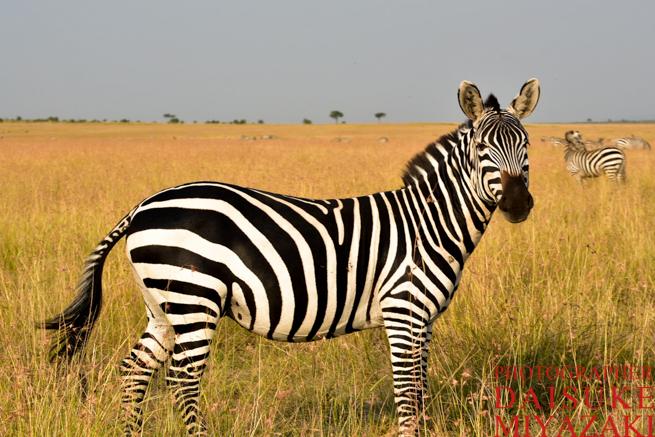 マサイマラ国立公園のシマウマ一匹