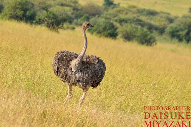 マサイマラ国立公園の雌のダチョウ